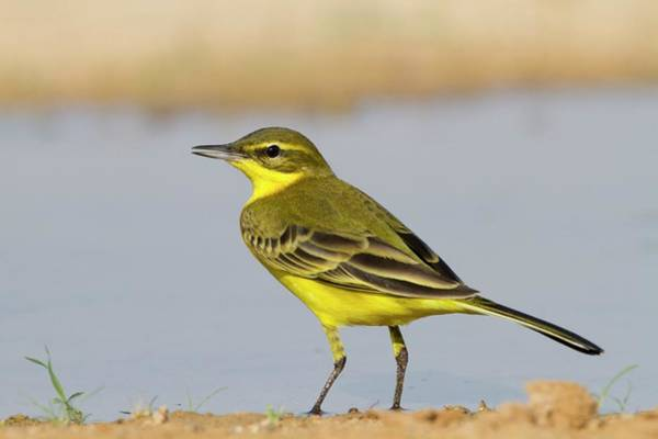 Migrate Photograph - Western Yellow Wagtail (motacilla Flava) by Photostock-israel