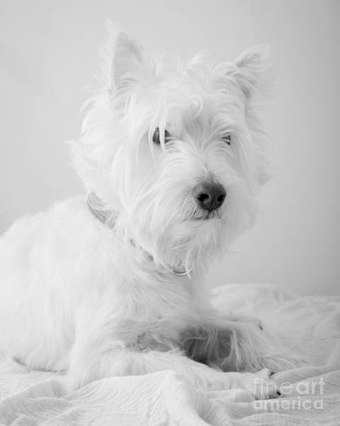 Westie Photograph - Westie Dog In Black And White by Edward Fielding