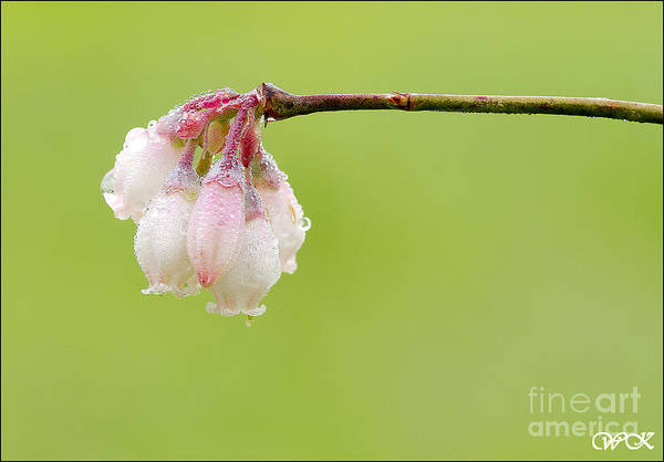 Photograph - Wet Blossoms by Wanda Krack