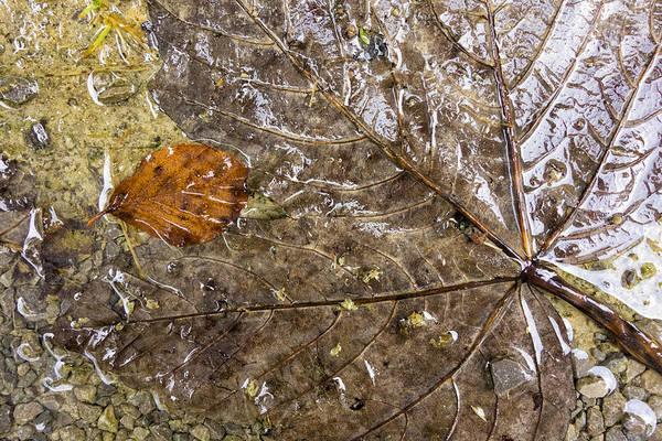 Photograph - Wet Fall Foliage With Subtle Brown Tones by Matthias Hauser