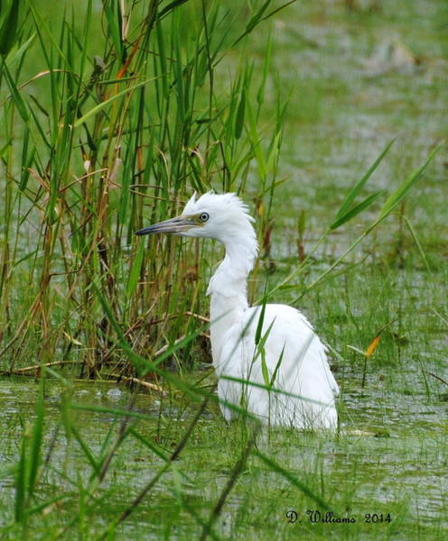 Photograph - Wet Juvenile Little Blue Heron by Dan Williams