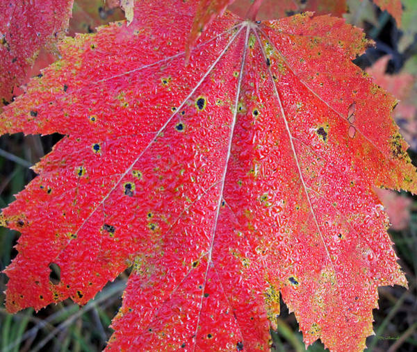 Photograph - Wet Maple Leaf In The Fall  by Duane McCullough