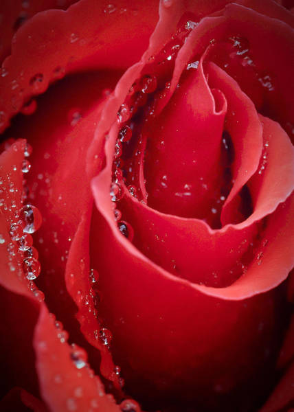 Photograph - Wet Rose In Mexico by Barry Weiss
