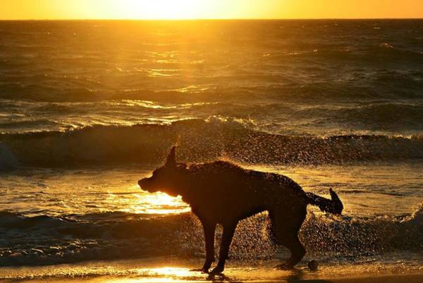 Wet Shaking Dog At Beach Art Print