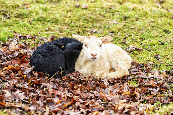 Photograph - Wet Spring Lambs by Thomas R Fletcher
