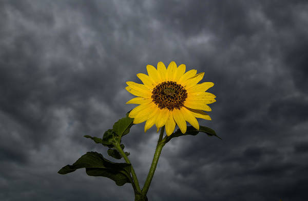 Photograph - Wet Sunflower And Tiny Crab Spider After The Rain by Steven Schwartzman