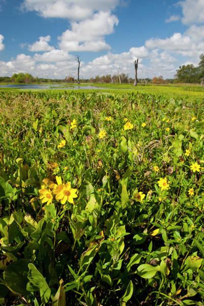 Brazos Bend State Park Wall Art - Photograph - Wetland Sunflowers And Emergent Aquatic by Larry Ditto