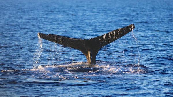 Photograph - Whale Fluke 1 by Trever Miller