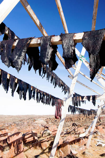 Wall Art - Photograph - Whale Meat Drying by Louise Murray/science Photo Library