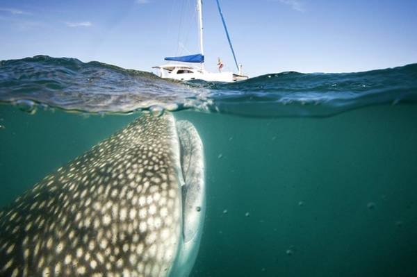 Sea Of Cortez Photograph - Whale Shark And Yacht by Christopher Swann