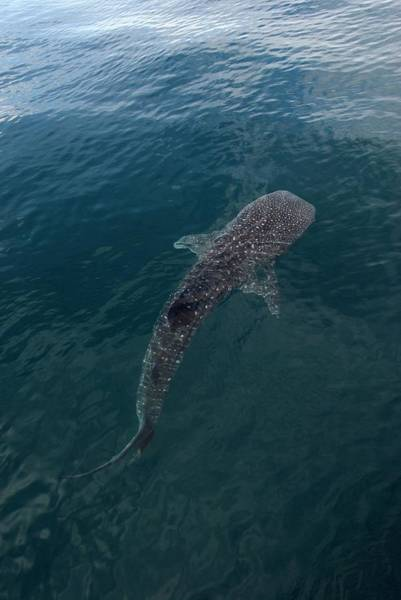 Wall Art - Photograph - Whale Shark by Christopher Swann/science Photo Library