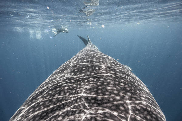 Snorkeling Photograph - Whale Shark Expedition by Tyler Stableford