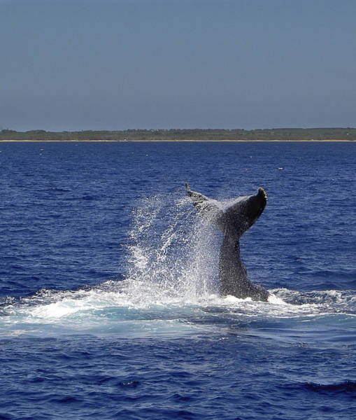 Photograph - Whale Tale Splash II by Penny Lisowski