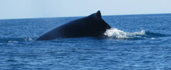 Photograph - Whale by Tony Mathews