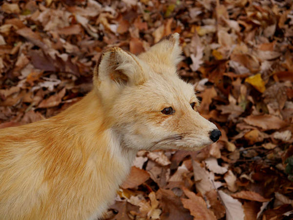 Photograph - What Does The Fox Say? by Richard Reeve