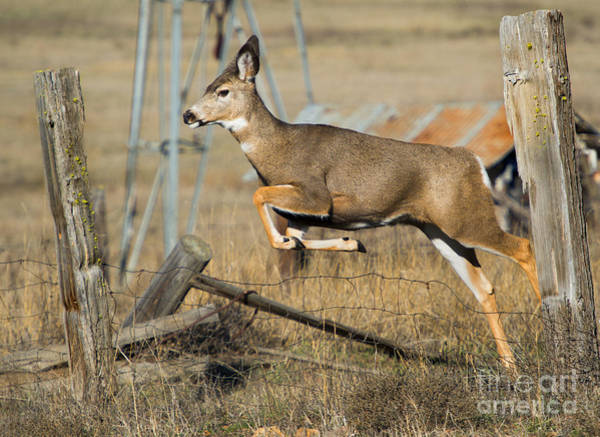 Doe Photograph - What Fence by Mike  Dawson