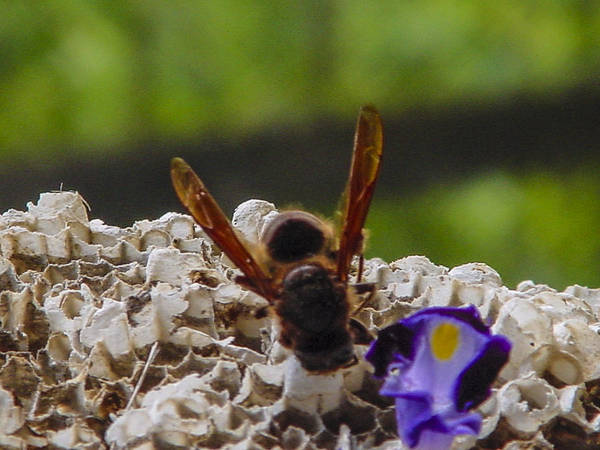 European Hornet Photograph - Whats This by Robert J Andler