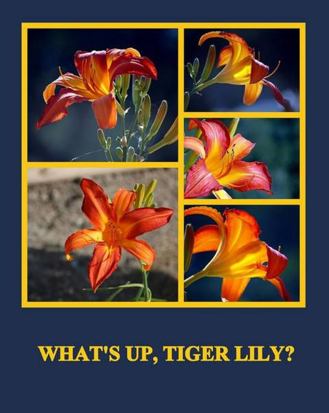 Photograph - What's Up Tiger Lily by AJ  Schibig