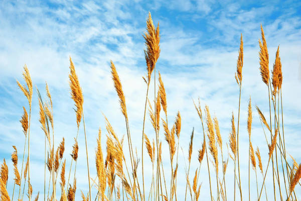Breeze Photograph - Wheat Blowing In The Wind by Sheila Haddad