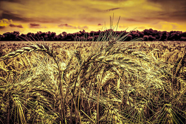 Photograph - Wheat Field by Ron Pate