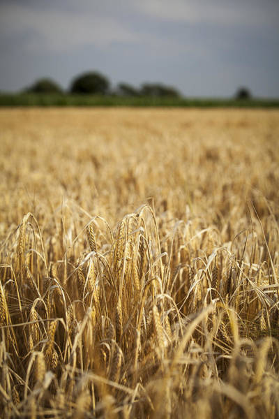 Corn Photograph - Wheat Field by Samuel Whitton