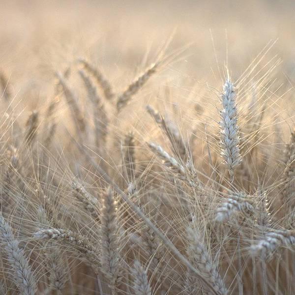 Beautiful Wall Art - Photograph - #wheat #france #rsa_ladies #rsa_nature by Georgia Fowler