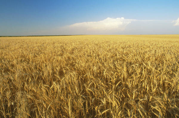 Wall Art - Photograph - Wheat by James Steinberg