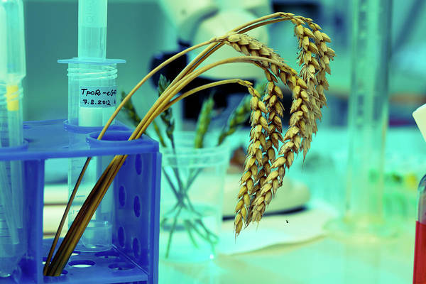 Modified Photograph - Wheat Research In Lab by Wladimir Bulgar