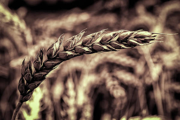 Photograph - Wheat Stalk by Ron Pate