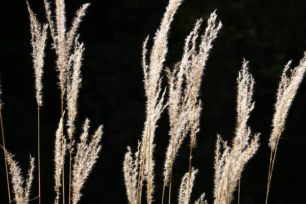 Photograph - Wheat Stalks by Mike Murdock