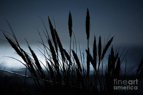 Photograph - Wheat Stalks On A Dune At Moonlight by Nick  Biemans