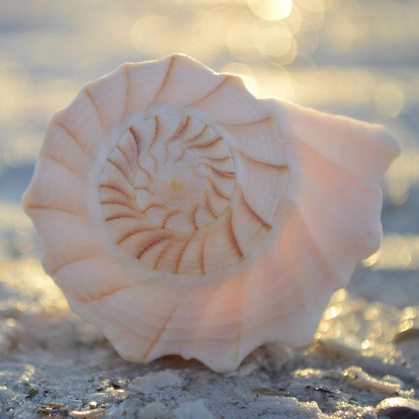Photograph - Whelk by Melanie Moraga