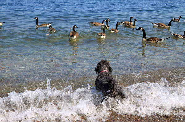Wall Art - Photograph - When Dog Meets Geese by Charline Xia