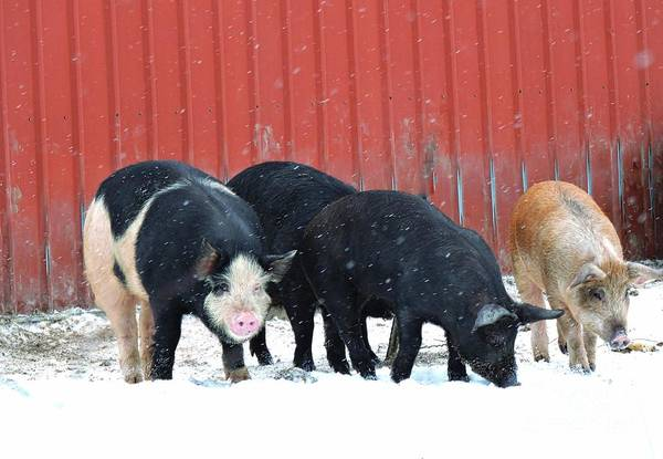 Smallholding Photograph - When Pigs Fly by Marcia Lee Jones