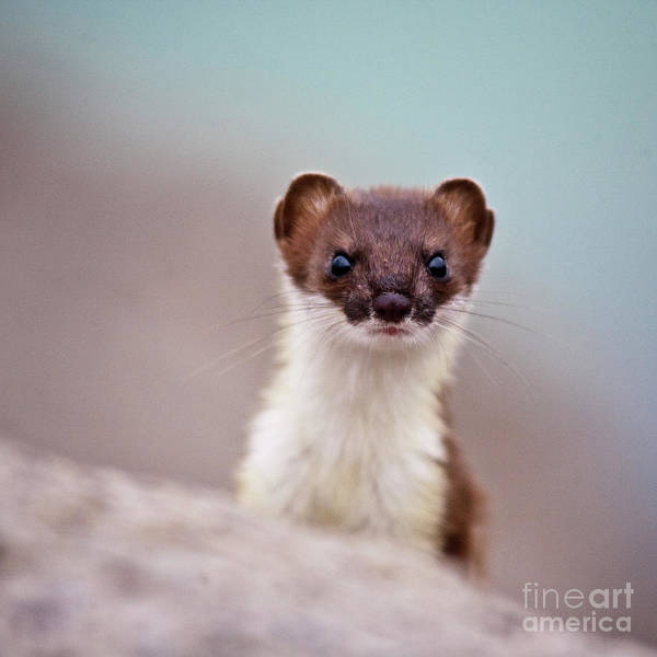 Weasel Wall Art - Photograph - Where Is The Fish by Heiko Koehrer-Wagner