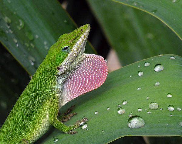 Green Anole Photograph - Where' My Sweetheart by Bill Morgenstern