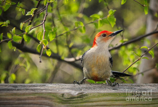 Red Bellied Woodpecker Photograph - Which Way Did They Go by Lois Bryan