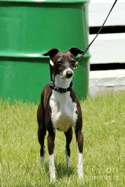 Photograph - Whippet Horse Show Dog by Janice Byer