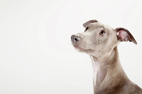 Whippet Wall Art - Photograph - Whippet Looking Up In Profile by Jw Ltd