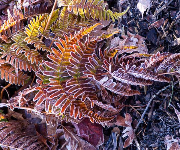Fern Frost Photograph - Whirling Fern by Douglas Barnett