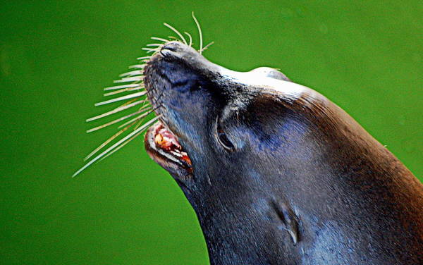 Photograph - Whiskers by AJ  Schibig