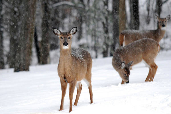 Photograph - Whispering Winter White Tail by Christina Rollo