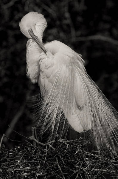 Egret Photograph - Whispy And Delicate by Deborah Benoit