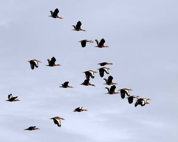 Photograph - Whistling Duck Flock by Dawn Currie