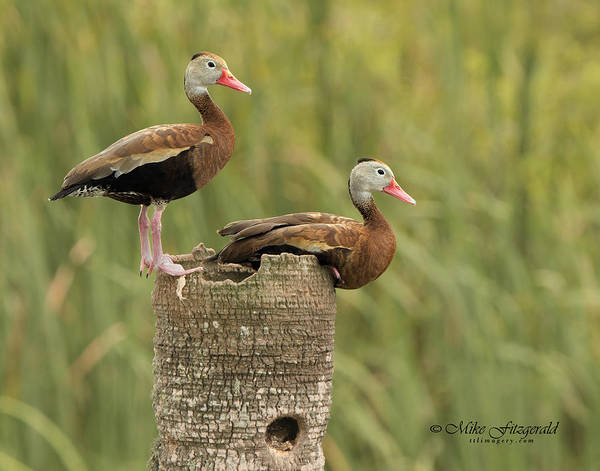 Photograph - Whistling Duo by Mike Fitzgerald