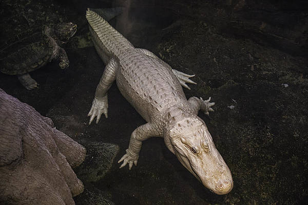 Gator Photograph - White Alligator by Garry Gay