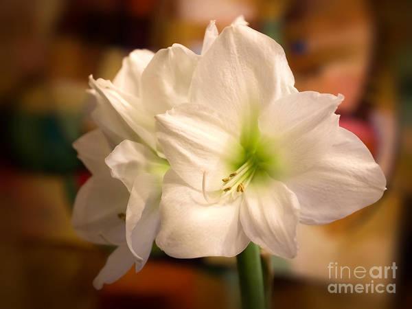 Amaryllis Photograph - White Amaryllis by Lutz Baar