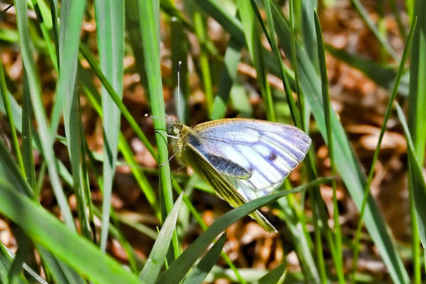 Photograph - white and blue 2013- Butterfly with white wings and blue stripes sitting on a grass straw by Leif Sohlman