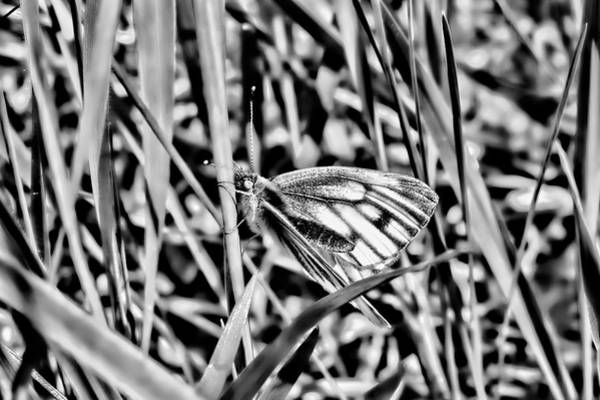 Photograph - white and blue 2013 BW-3 - Butterfly with white wings and blue stripes sitting on a grass straw by Leif Sohlman