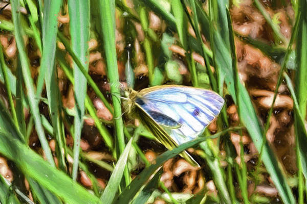 Photograph - white and blue 2013 imp1-2 - Butterfly with white wings and blue stripes sitting on a grass straw by Leif Sohlman